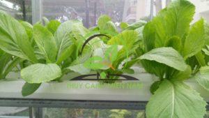 Giàn Rau Thủy Canh trồng cải bẹ xanh