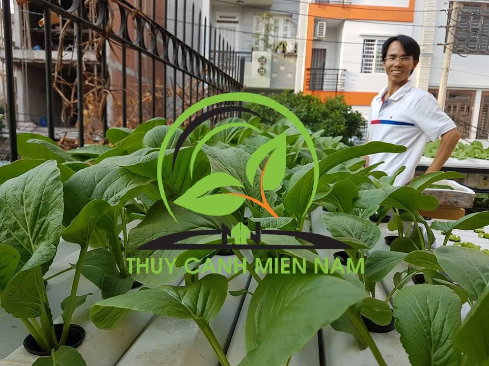 thu hoạch rau thủy canh tại nhà