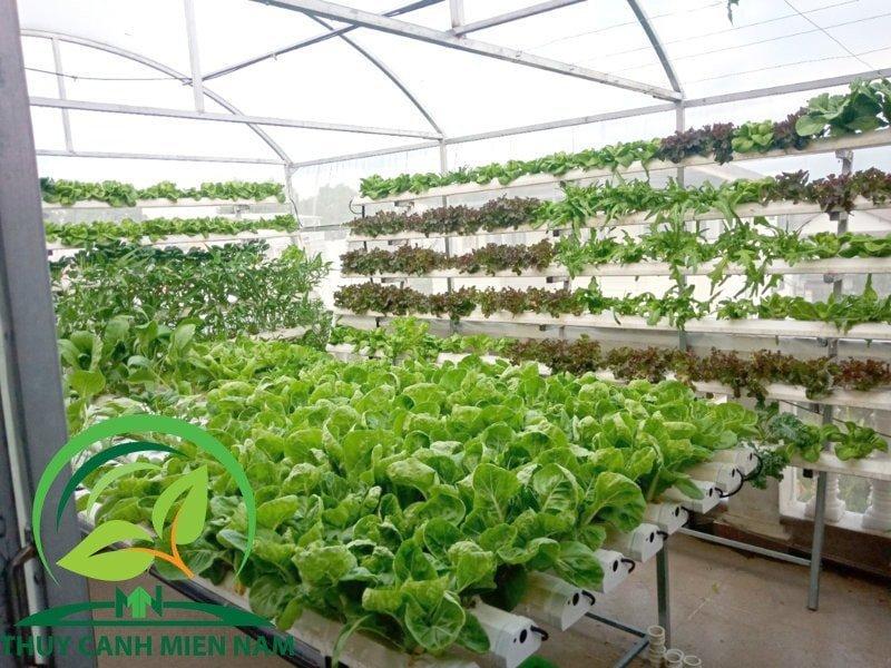 trồng rau thủy canh