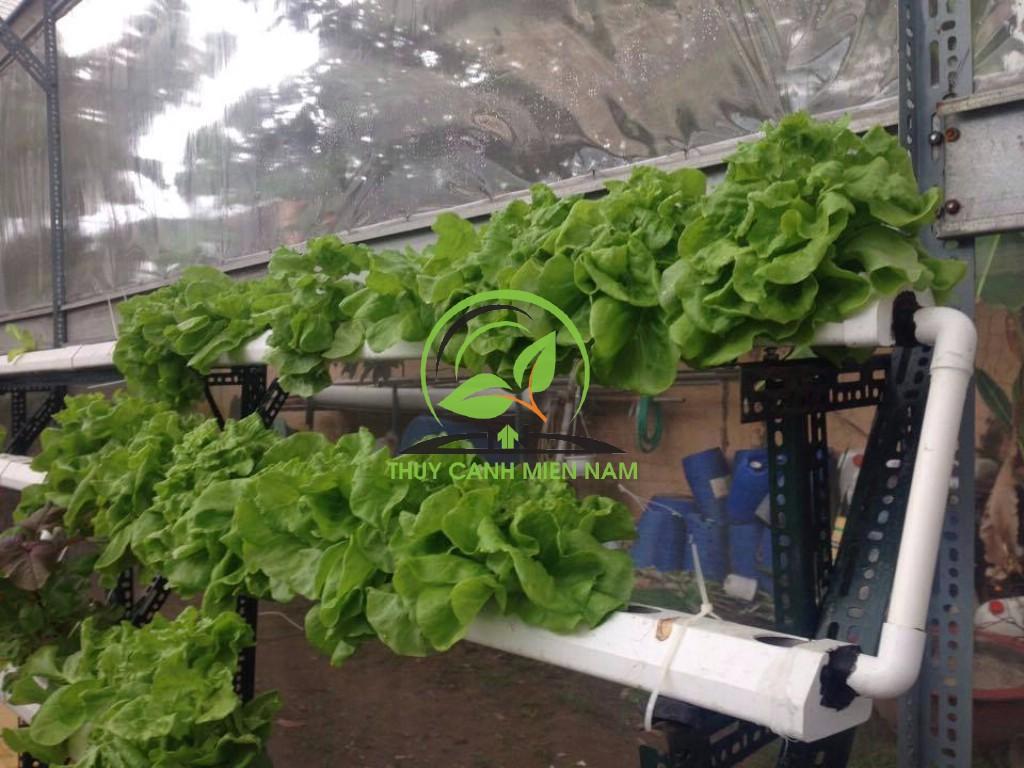 mô hình trồng rau thủy canh sân thượng