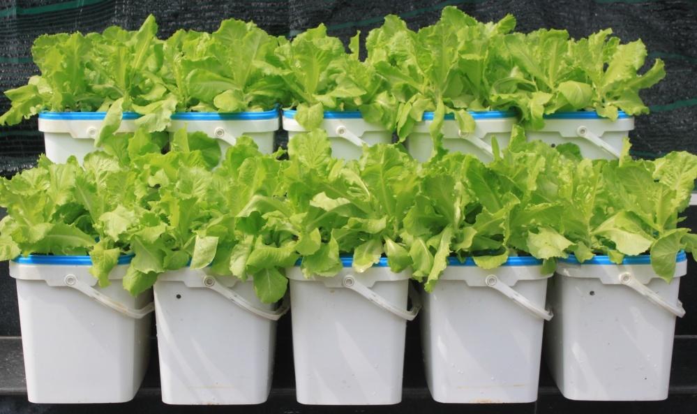 trồng rau ăn lá bằng thủy canh tĩnh