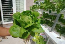 chi phí trồng rau thủy canh