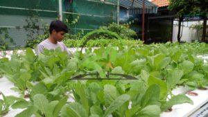 trồng rau thủy canh bình dương