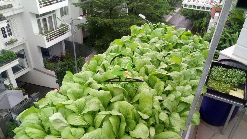 trồng cây thủy canh