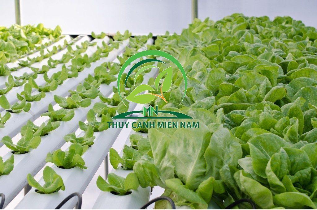 Tuyệt chiêu trồng rau chuyên nghiệp tại nhà